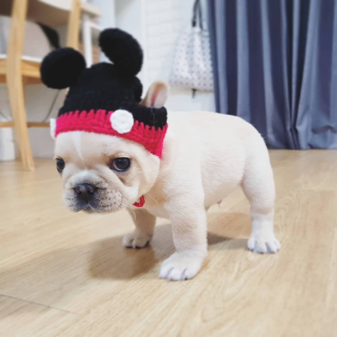 Teacup French Bulldogs For Sale